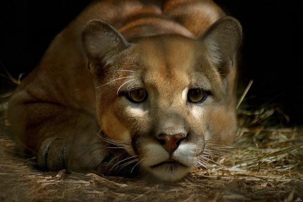 Фотообои львица фото (animals-0000305)