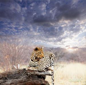 Фотообои в зал гепард небо (animals-0000382)