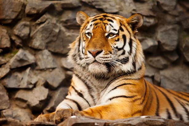 Фотообои тигр полосатый (animals-0000384)