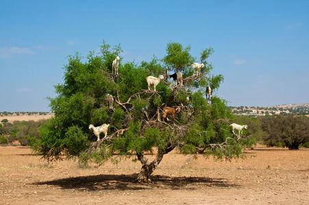 Фотообои Козлы на деревьях в Марокко (animals-576)