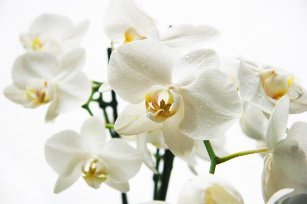 обои с цветами в комнату белая орхидея (flowers-0000056)