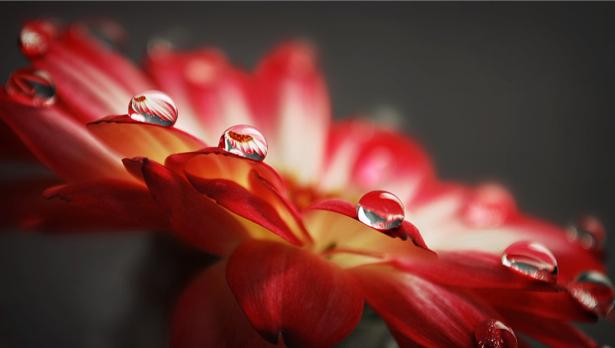 Цветы обои фото Гербера с каплями росы (flowers-0000114)