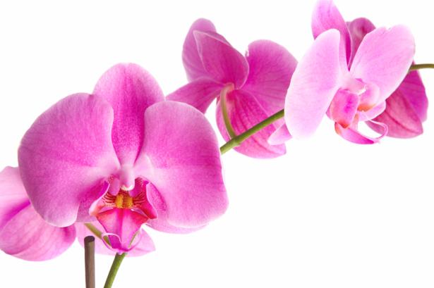 Ветка розовой орхидеи красивые цветы фотообои (flowers-0000237)
