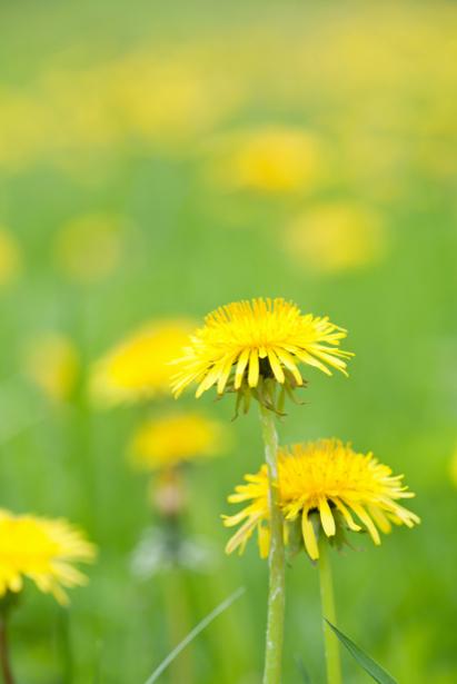 Фото обои для стен желтые одуванчики (flowers-0000587)