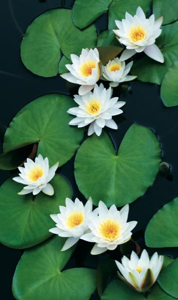 Цветок фото обои белые лилии на воде (flowers-0000611)