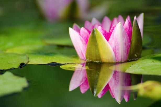 Цветок фото обои лилия на воде (flowers-0000619)
