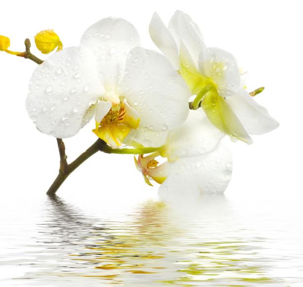 Фотообои Ветка белой орхидеи (flowers-800)