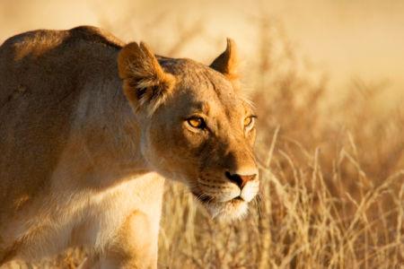 Фотообои львица африканка (animals-0000006)