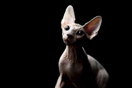 Фотообои кошка, кот, сфинкс (animals-0000062)
