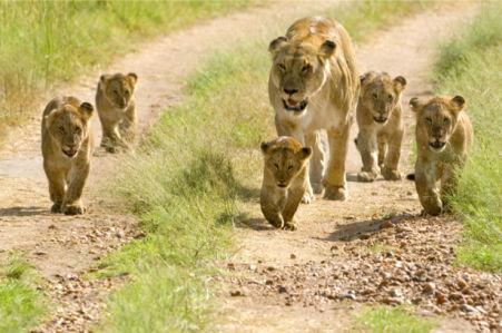 Фотообои лев, львица, львята (animals-0000163)