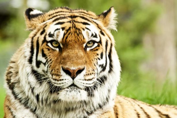 Фотообои тигр полосатый (animals-0000174)
