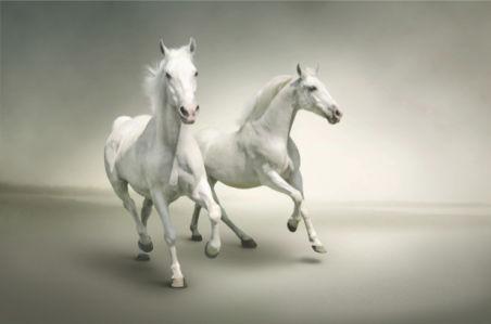 Фотообои белые лошади на белом (animals-0000282)