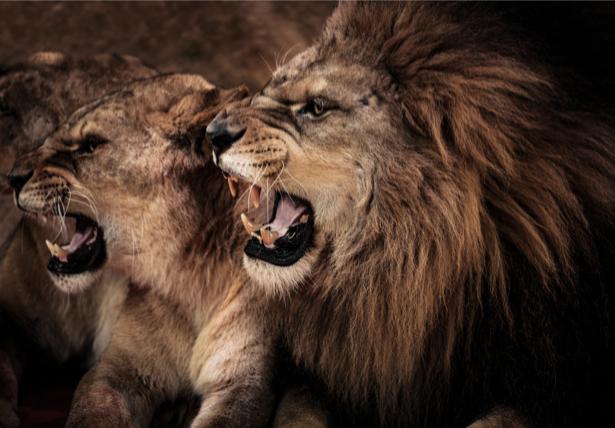 Фотообои Лев и львица (animals-0000453)