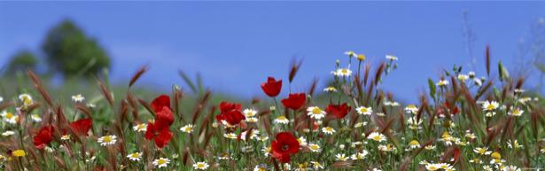 Полевые цветы готовые фотообои (flowers-0000103)