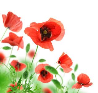 Цветок фото обои красные маки (flowers-0000598)
