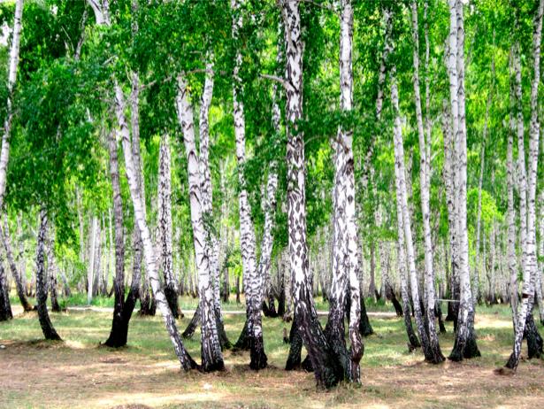 Фотообои в зал березы роща лес (nature-00444)