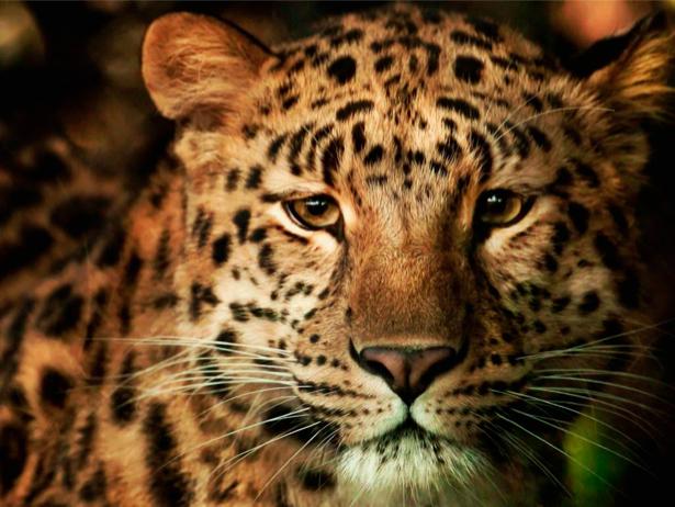 Фотообои тигриный взгляд (animals-0000013)