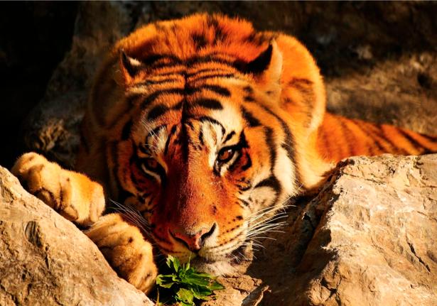 Фотообои в природе тигр большой (animals-0000018)