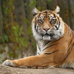 Фотообои полосатый тигр (animals-0000173)