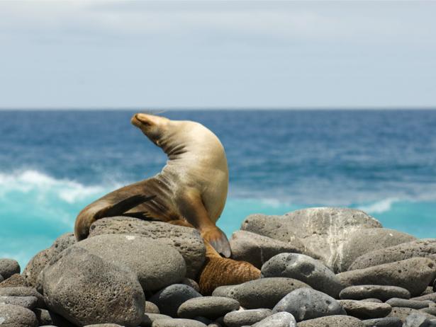Фотообои морской котик (animals-0000301)