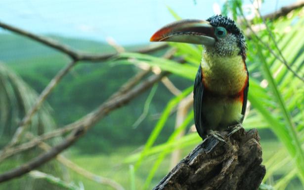 Фотообои тукан в лесу (animals-0000370)