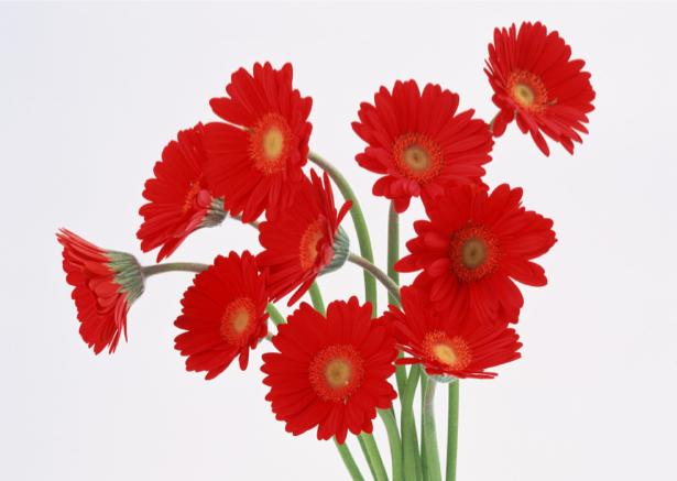 Красные герберы Обои для стен фото (flowers-0000134)