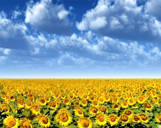 Фотообои на стену цветы -  Поле подсолнухов (flowers-0000185)