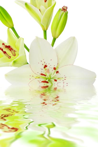 Белые лилии красивые цветы фотообои (flowers-0000238)
