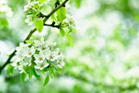 Обои фото ветка цветущего дерева (flowers-0000427)