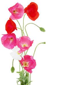 фото обои букет маков (flowers-0000464)
