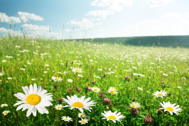 Полевые ромашки (flowers-0000581)