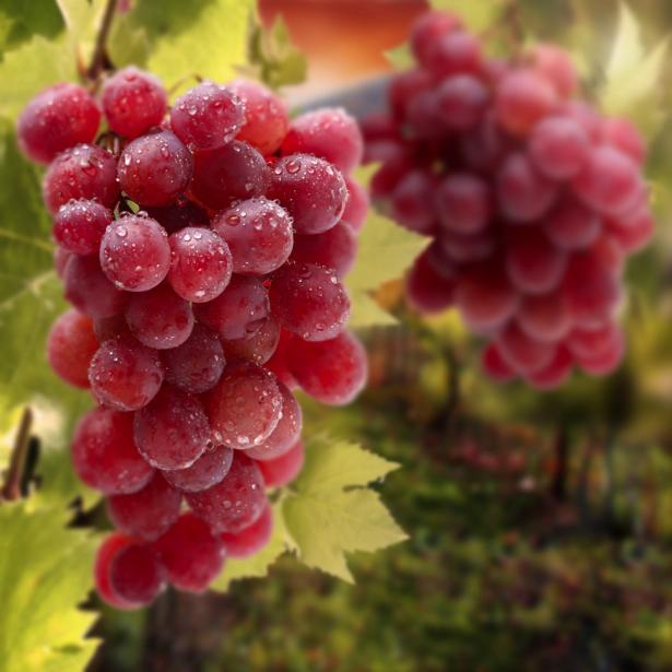 Фотообои в кухню гроздь винограда (food-0000219)