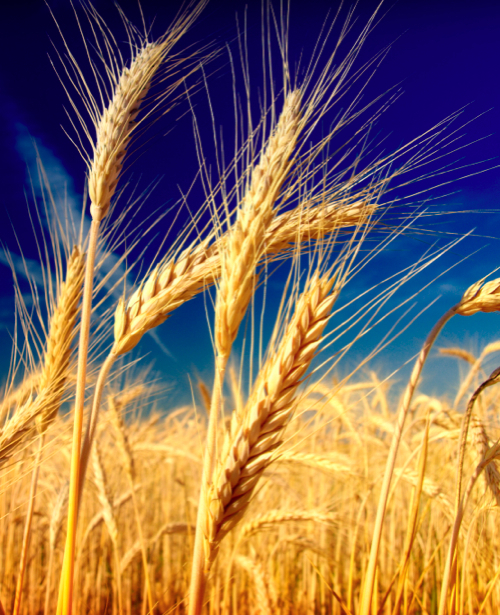 Фотообои с природой поле пшеницы колоски (nature-00014)