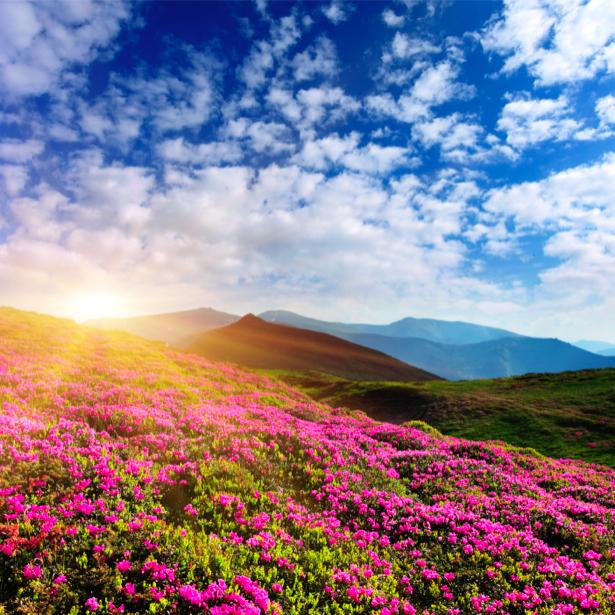 Фотообои азалия в поле, пейзаж (nature-00327)