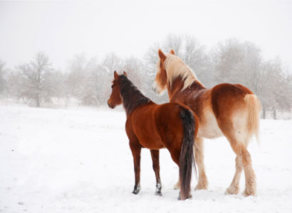 Фотообои лошади пара (animals-0000387)