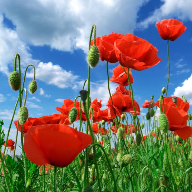 Обои фото Полевые маки (flowers-0000156)