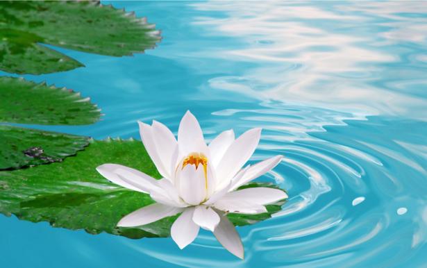 Фотообои на стену -  Белая лилия в пруду (flowers-0000178)