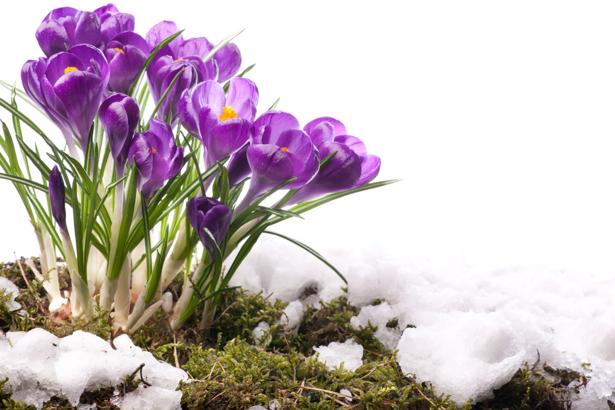Фото обои цветок фиолетовые крокусы (flowers-0000414)