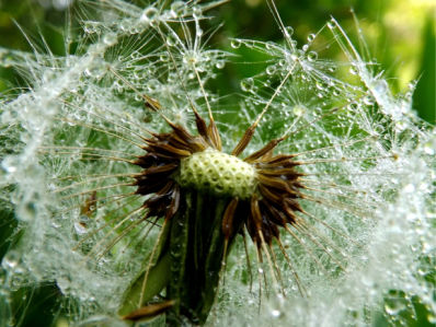 Фотообои капли дождя на одуванчике (flowers-0000731)