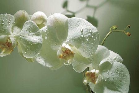 Фотообои белые орхидеи (flowers455)