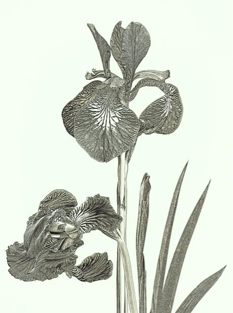 Фотообои Ирисы цветы (printmaking-0000077)