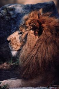 Фотообои лев в профиль (animals-0000085)