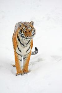 Фотообои тигр на снегу (animals-0000172)