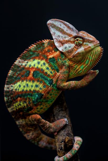 Фотообои хамелеон на черном фоне (animals-0000291)