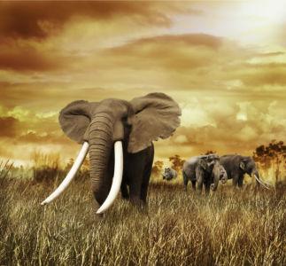 Фотообои сепия Слоны (animals-0000434)