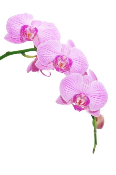 Фотообои на стену цветы Розовая орхидея (flowers-0000041)