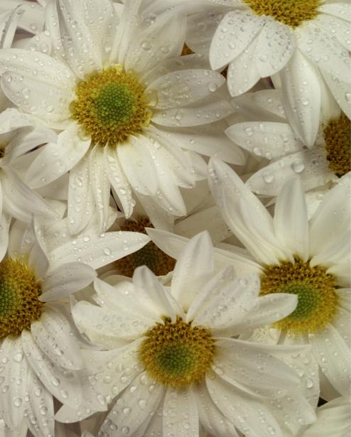 Ромашки Обои фото цветы (flowers-0000143)