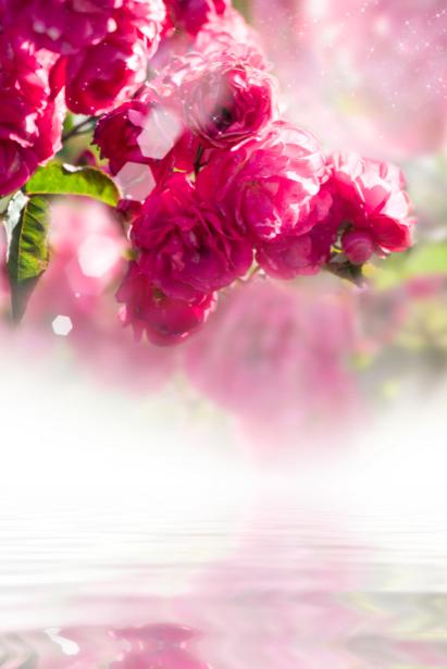 Чайная роза - Фотообои на стену (flowers-0000220)