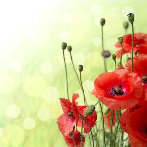 Обои фото цветок Красные маки (flowers-0000602)