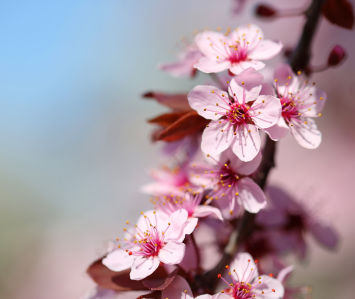 Фотообои цвет сакуры (flowers-767)